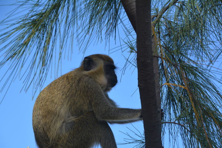 Green Monkey Animal Themes Animal Wildlife Animals In The Wild Baboon Branch Clear Sky Day Low Angle View Mammal Monkey Nature No People One Animal Outdoors Sky Tree Tree Trunk