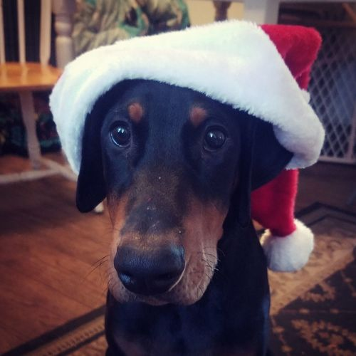 Dog Pets Portrait Christmas No People Puppy Close-up Animal Themes Doberman Pinscher Doberman  Dobeboy Puppy Love ❤ Puppy Eyes Puppies Of Eyeem Christmas Spirit Santa Paws