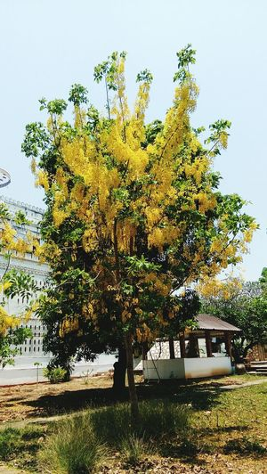 gloden shower tree Gloden Gloden Tree Gloden Shower Yellow Flower Fabaceae Tree Sky Grass Growing Toadstool Young Plant Stem Cactus Ivy Cattail Stalk Mushroom Bud Fungus Blooming Pollen Petal Flower Head In Bloom Park - Man Made Space Outdoor Play Equipment Growth Plant Life