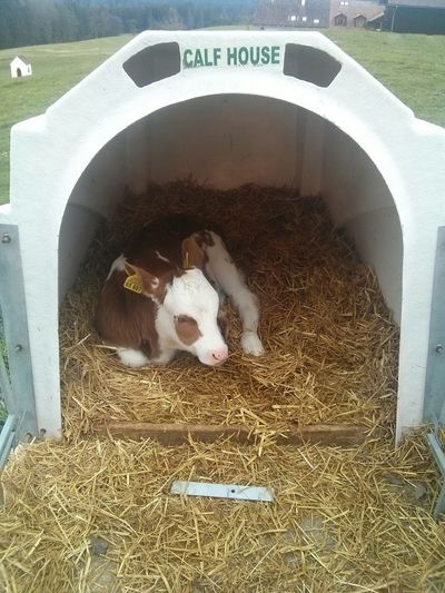 Calf Calf House Farming Ranch Agriculture Cow Spring Produce Food Inc We Feed The World Meat Production Veal