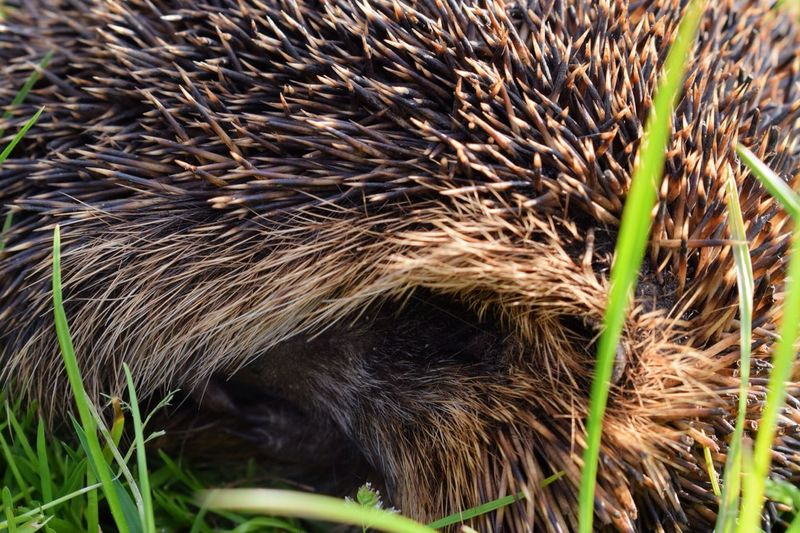 Animal Close-up Field Grass Hedgehog Mammal Nature No People Outdoors Sleep Sleepy