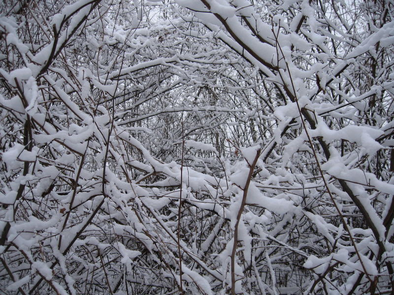 snow-covered bush Beauty In Nature Branches Bush Close-up Covering Frozen Frozen Nature Nature No People Outdoors Rural Scene Scenics Season  Snow Snow Covered Snow Covered Branch Snow ❄ Tranquil Scene Tranquility Weather White Winter Winter Trees Winter_collection Wintertime