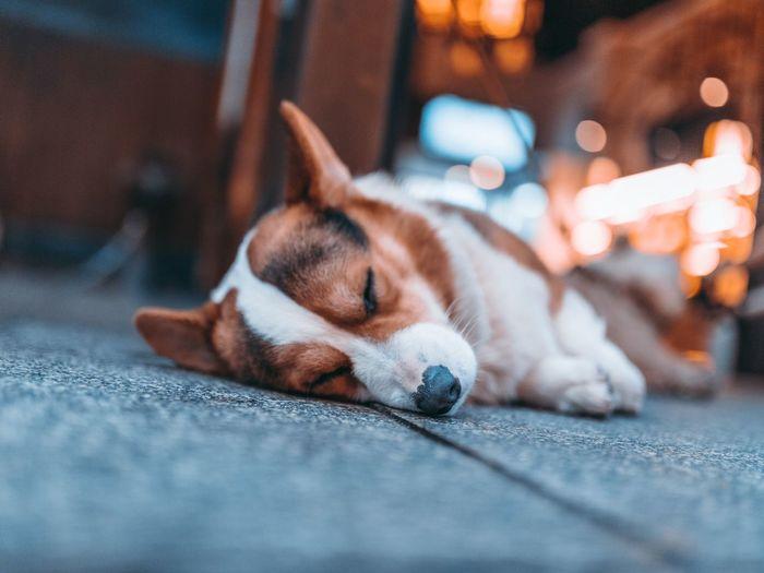 Sleep dog One Animal Dog Canine Pets Animal Themes Relaxation Sleeping