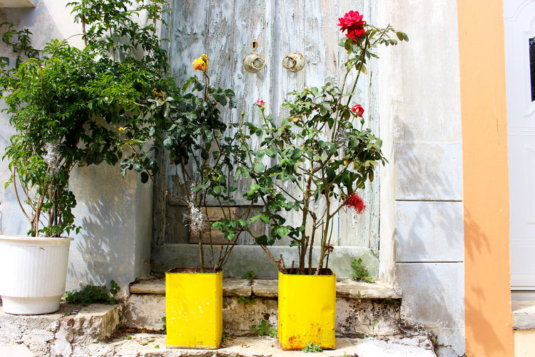 Day Door Flower Flower Pot Fragility Greece Growing Growth Lesbos Lesvos Mediterranean  No People Plant Plomari, Greece Potted Plant Roses Village Village Life Weathered Yellow Flower