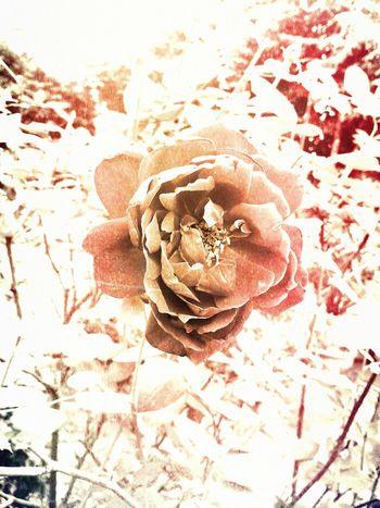 Rose IFlower Flowers