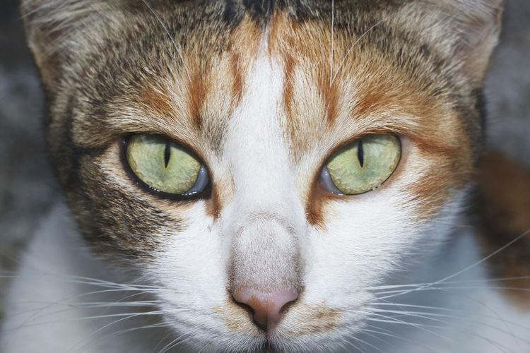 It is Thai cat