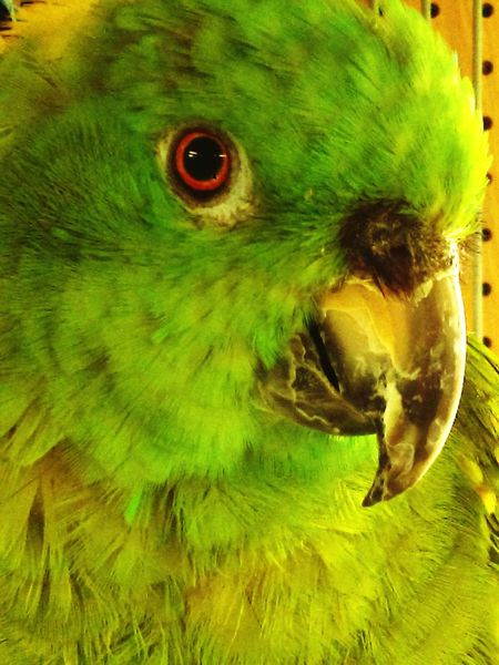 Green Parrot Red Eye Beauty In Nature Gulf Of Mexico