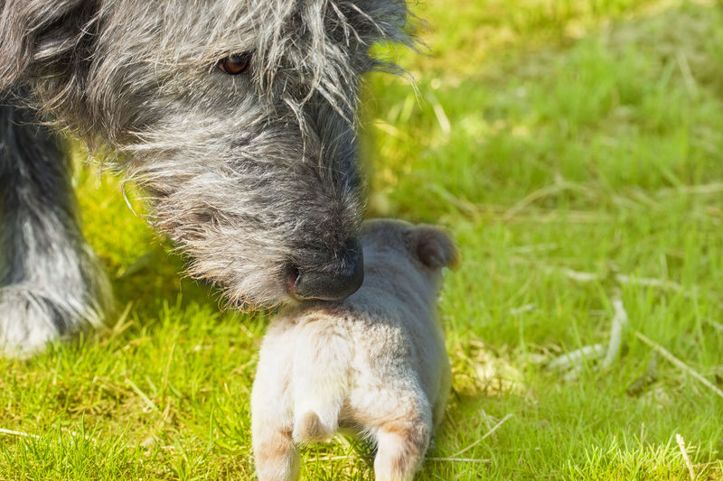 The nose of a big dog that sniffs a little puppy. Irish Wolfhound meets. Animals of different sizes. Outdoors selective focus image Mammal Animal Themes Domestic Animals Domestic Animal Grass Pets No People Young Animal Dog Irish Wolfhound