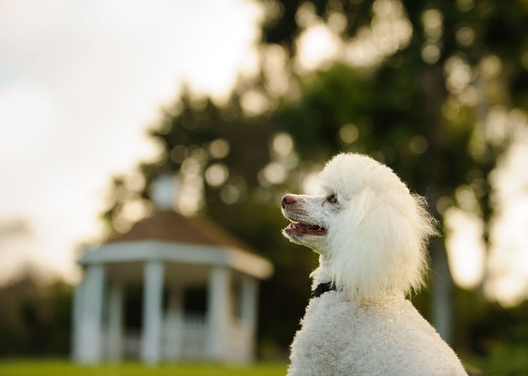 Gazebo Grass Plant Poodle Animal Animal Themes Clean Close-up Dog Domestic Animals Focus On Foreground Mammal No People One Animal Outdoors Park Pets Photography Portrait White Color
