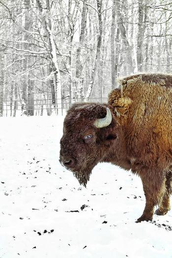 Eye To Eye Bulls Eye Bull Snowy Forest Hill Bull