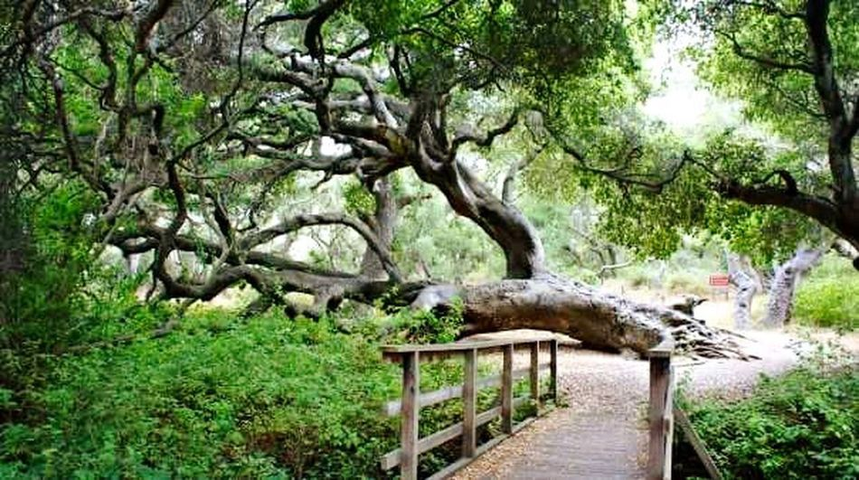 Tree Branch Growth Tranquility Green Color Park - Man Made Space Plant Railing Tree Trunk Los Osos, Ca Pygmy Oak Tranquil Scene Scenics Day Footpath Beauty In Nature Park No People Tourism Non-urban Scene Lush Foliage Fresh On Eyeem