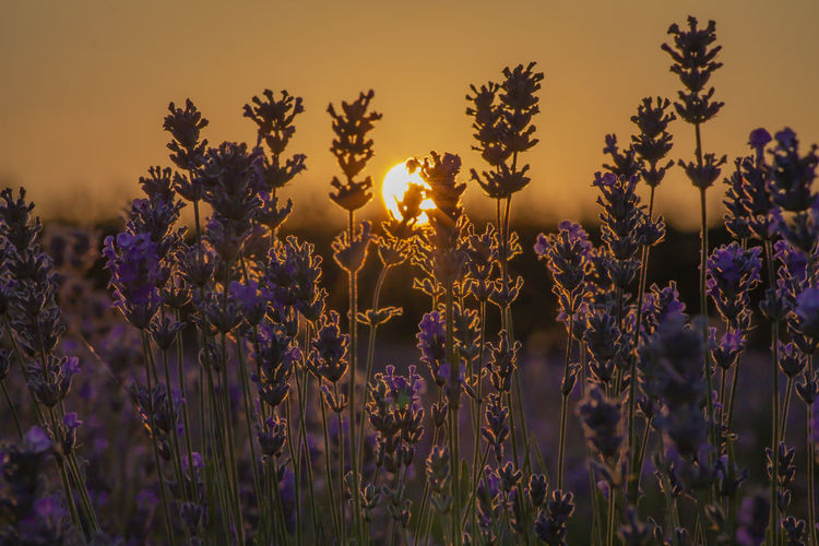 Close-up of purple flowering plants on field against sky during sunset