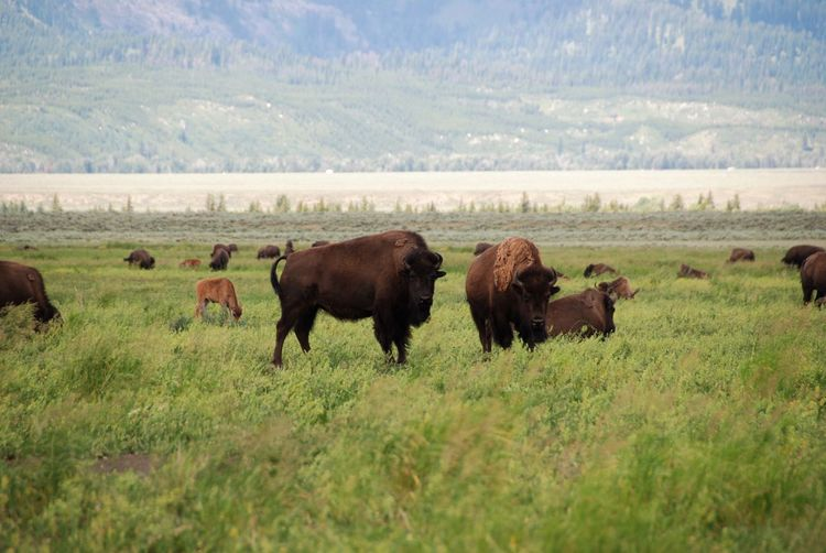 American Bison Animal Themes Animals In The Wild Beauty In Nature Bison Bison Group Day Fresh On Eyeem  Grand Tetons National Park Grass Grazing Landscape Mormon Row Nature Nature Nature Photography No People Outdoors Powerful Animals Regal Travel Travel Destinations Wyoming Wyoming Landscape