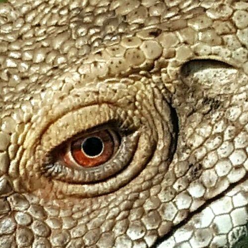 June 2016 June Showcase Lizard Monitor Lizard Eye Reptile Reptile World Close Up Eye