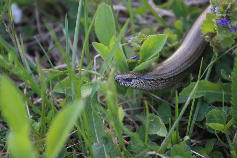 Close-up of snake on grassy field
