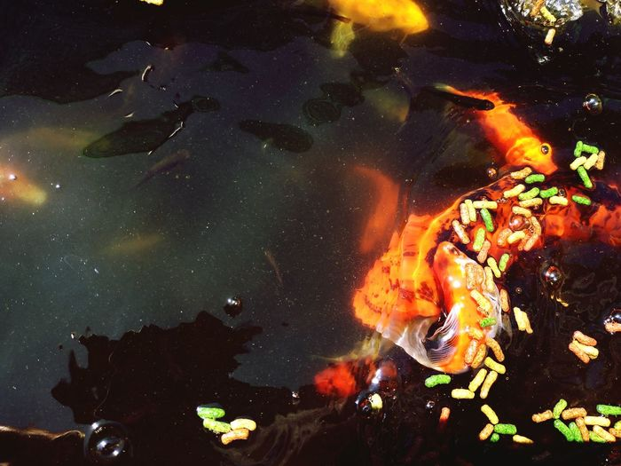 Fish J Kois Koi Koisas De Kinha Kois De Color Dorado Y Plateadoç EyeEm Best Shots EyeEmNewHere EyeEm Nature Lover EyeEm Gallery EyeEm Selects Astronomy Galaxy Space Star - Space Satellite View Milky Way Constellation Destruction Close-up Entertainment Firework - Man Made Object Exploding Molten Glowing Sparks Solar System Long Exposure Firework Display Active Volcano Erupting Light Painting