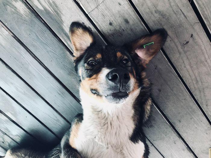 High angle portrait of dog lying on wood