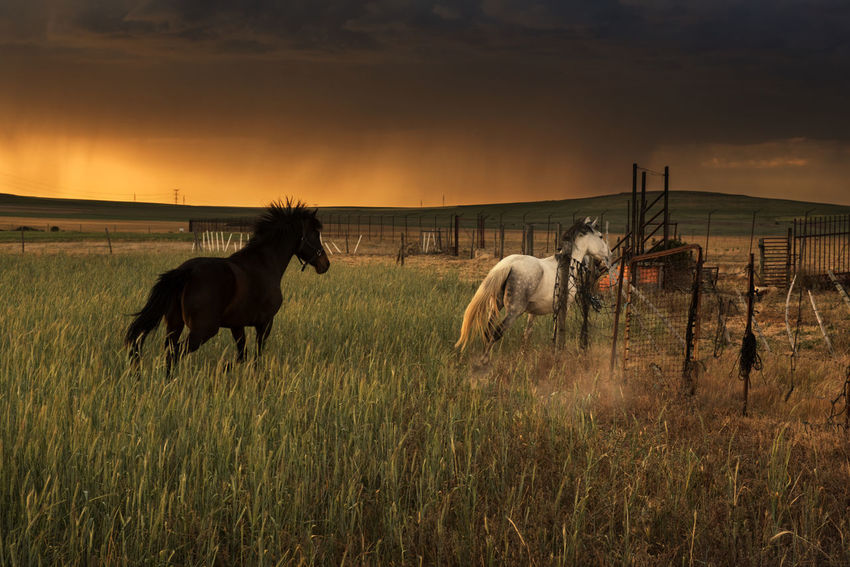 Horses running durying a stormy afternoon while a sunset in fields Animal Themes Cloud - Sky Domestic Animals Field Fields Fields Of Gold Fieldscape Grass Horse Horses Horses Running Landscape Mammal Nature No People Outdoors Rain RainyDays Running Horses Sky Storm Stormy Sky Stormy Weather Sunset Sunset, Sillouette