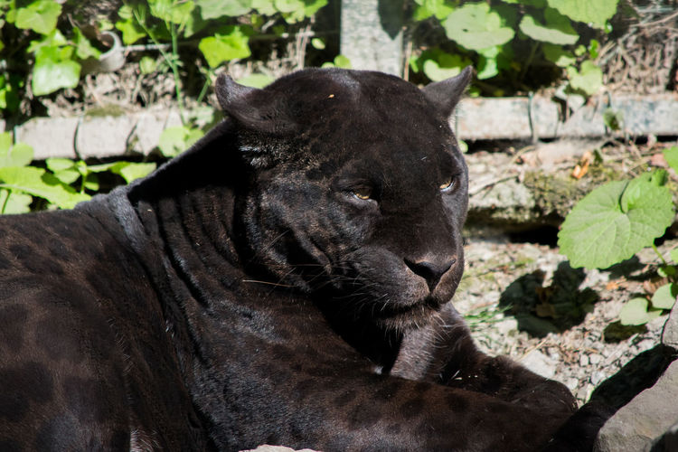 balck panther Animal Themes Animals In The Wild Beauval Black Panther Close-up Day Domestic Animals Mammal Nature No People One Animal Outdoors Panther Panthère Panthère Noir Zoology