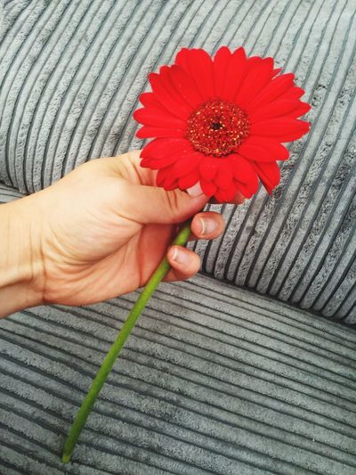 Cropped Image Of Hand Holding Red Gerbera