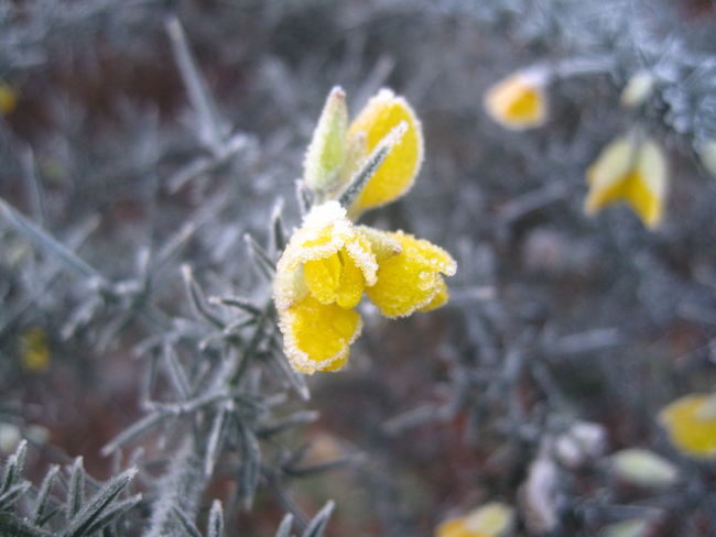 Beauty In Nature Day Flower Focus On Foreground Fragility Frost Frost Flowers Frosty Mornings Frox Frozen Frozen Nature Gorse Gorse Bush Gorse Flowers Growth Macro Macro Beauty Macro Photography Macro_collection Nature Nature Photography Nature_collection Outdoors Sunlight