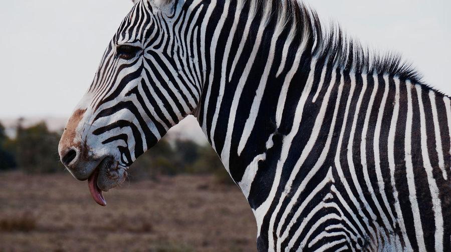 Close-up of zebra against sky