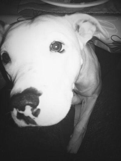 Dog Love Pit Bull Ms.Laidy Little Princess
