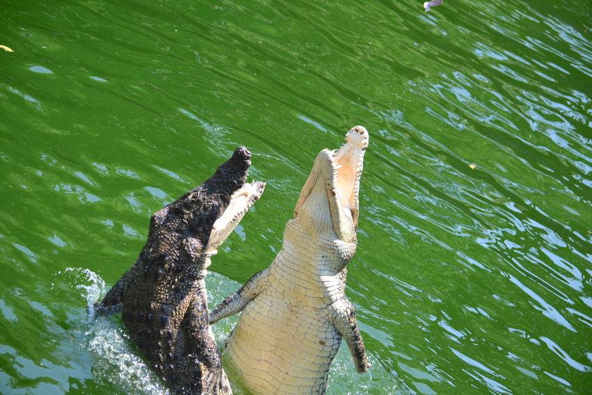 Awsomenature Crocodile Farm Feeding Animals Hungry Animals Jumpshot No Filter, No Edit, Just Photography Wildlife & Nature Zoo Life