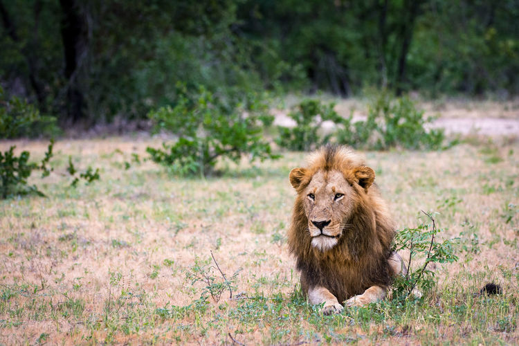 Animal Themes Animals In The Wild Day Grass Lion Lion - Feline Mammal Nature No People One Animal Outdoors Sabi Sand Game Reserve Safari Animals Wildlife