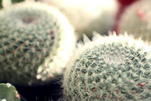 Cacti Nature Sunlight Beauty In Nature Cactus Close-up Endurance Metaphor No People