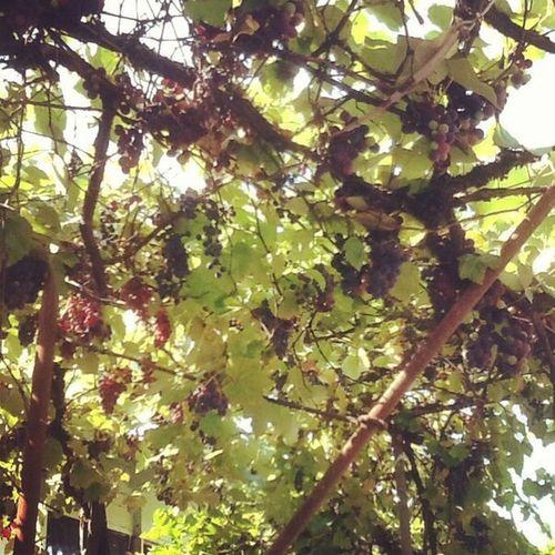 домашний_виноград
