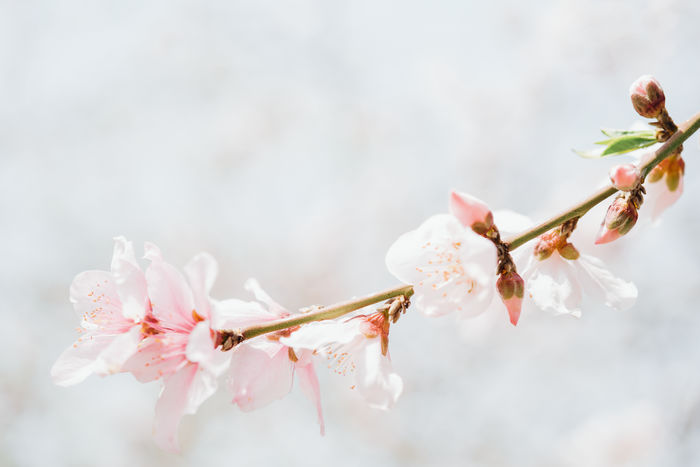 Close-Up Of Pink Peach Blossom On Tree Branch Beauty In Nature Blossom Branch Close-up Flower Flower Head Flowering Plant Freshness Growth Nature No People Peach Blossom Petal Plant Springtime Tree