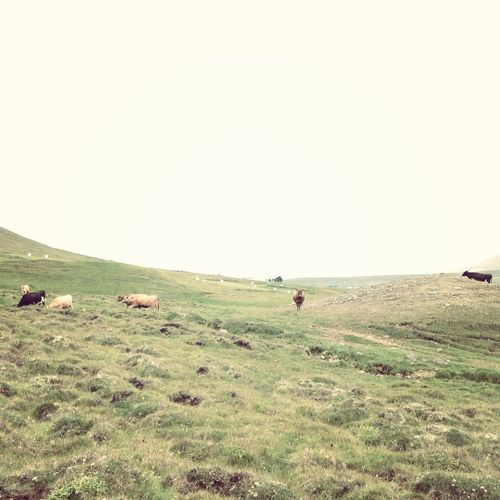 Animals Beauty In Nature Cow Field Grass Grassy Iceland Landscape Nature Non-urban Scene Remote Tranquil Scene