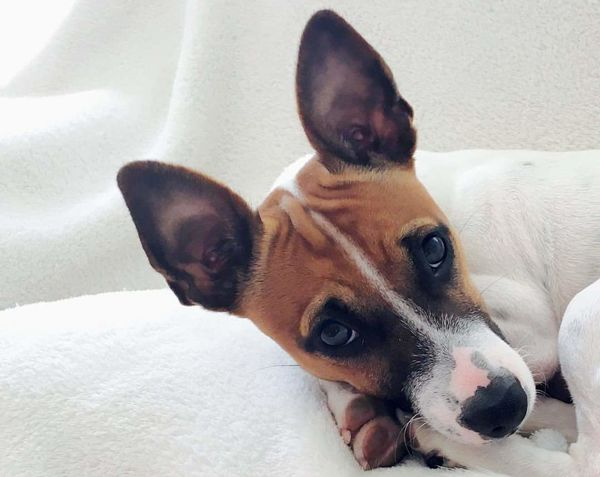 Pets Dog Mammal Domestic Animals One Animal Animal Themes Close-up Indoors  No People Portrait Jackrussell Jack Russell Jackrussellterrier Cute Dog  Lucky Shot One In A Million <3
