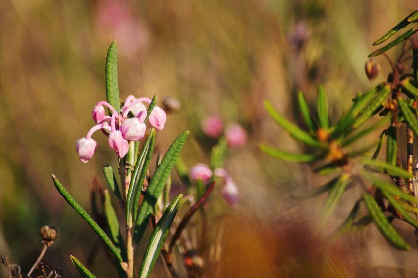 Багульник болотный багульник розовый Flower Pink Color Plant Nature Beauty In Nature Outdoors No People Close-up Fragility Day Springtime Growth Flower Head Multi Colored Freshness Landscape
