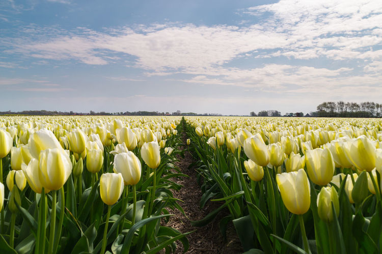 Tulips Blooming On Field Against Sky