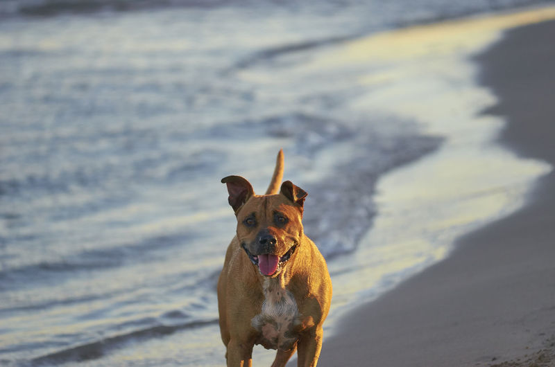 American Staffordshire terrier dog running on the beach at sunset Agressive American Amstaff Animals In The Wild Breed Bull Dogs Happy Run American Staffordshire Terrier Animal Animal Themes Beach Danger Dog Mammal Pet Petal Pitbull Play Strong Sunshine Water