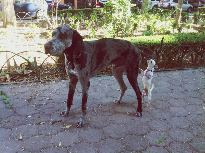 Romeo con su novio x) Walking Around Dogs