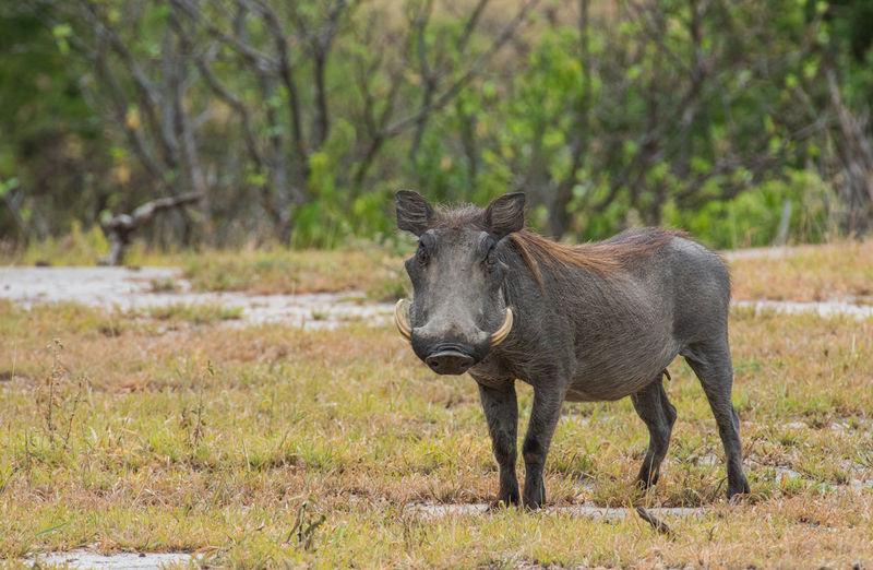 Warthog standing in the serengeti