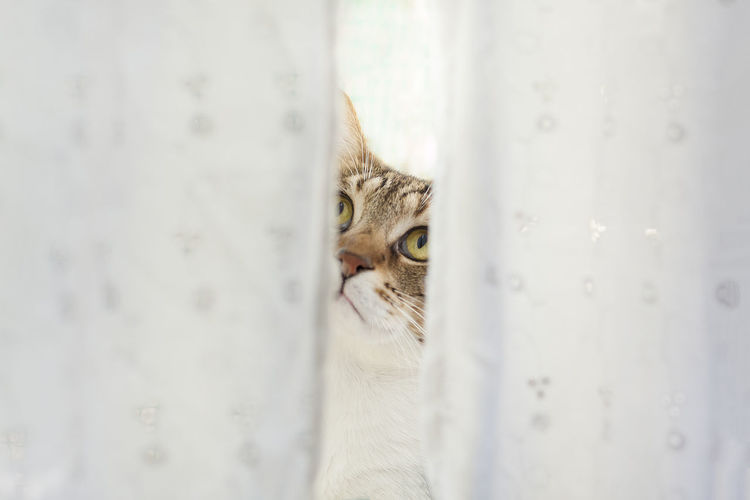 Close-Up Of Cat Seen Through Curtains