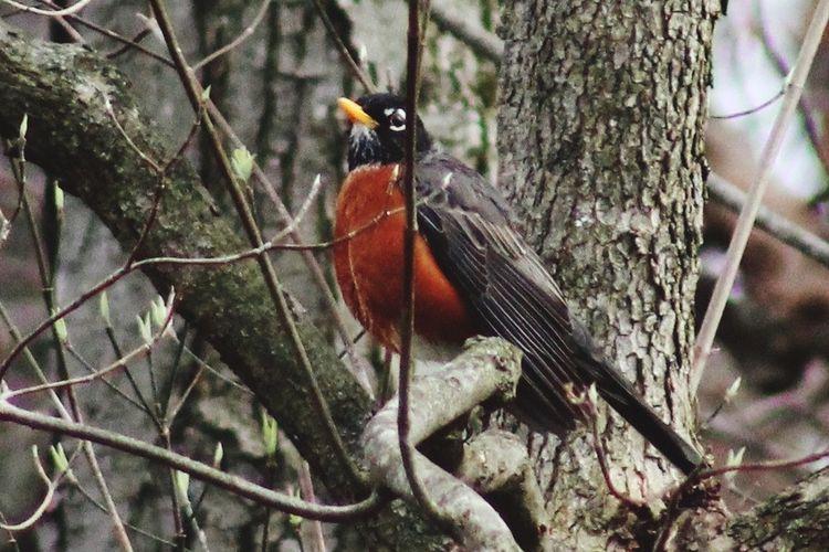 Handsome Buddy Nature Sweetheart Posing Americanrobin American Robin Birds Birding Bird Photography Redbreast Tree