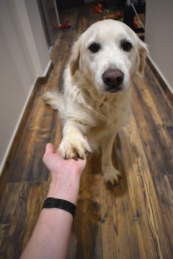 Flo d'amour. ❤️ Nature_collection Golden Retriever Taking Photos Dog Canine Pets One Animal Mammal Domestic Domestic Animals Hand Home Interior Wood One Person Personal Perspective