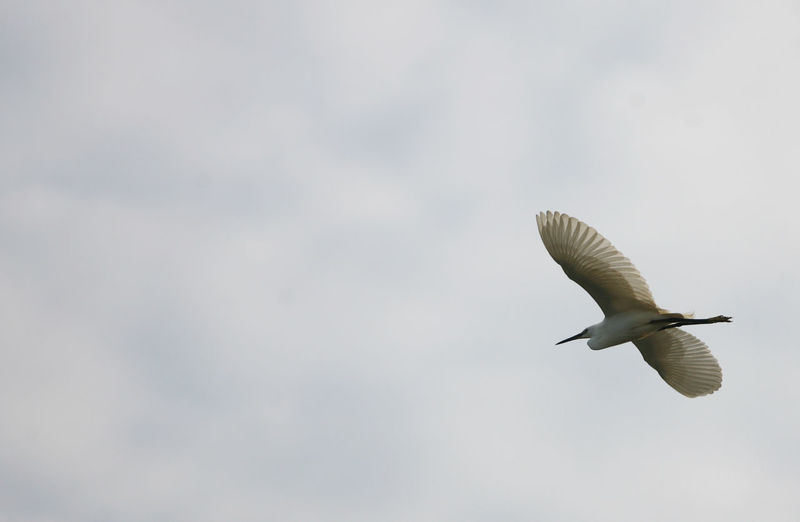 Low Angle View Of Egret Flying Against Cloudy Sky