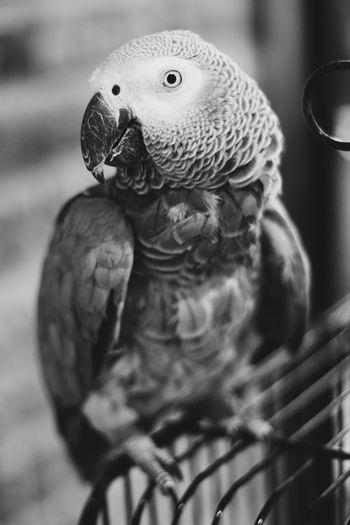 Parrot Parrot Lover Parrots Of Eyeem Blackandwhite Animalloverphoto Blackwhite Siyahbeyaz Siyahvebeyaz Bird Owl Close-up Hawk - Bird Spread Wings Macaw