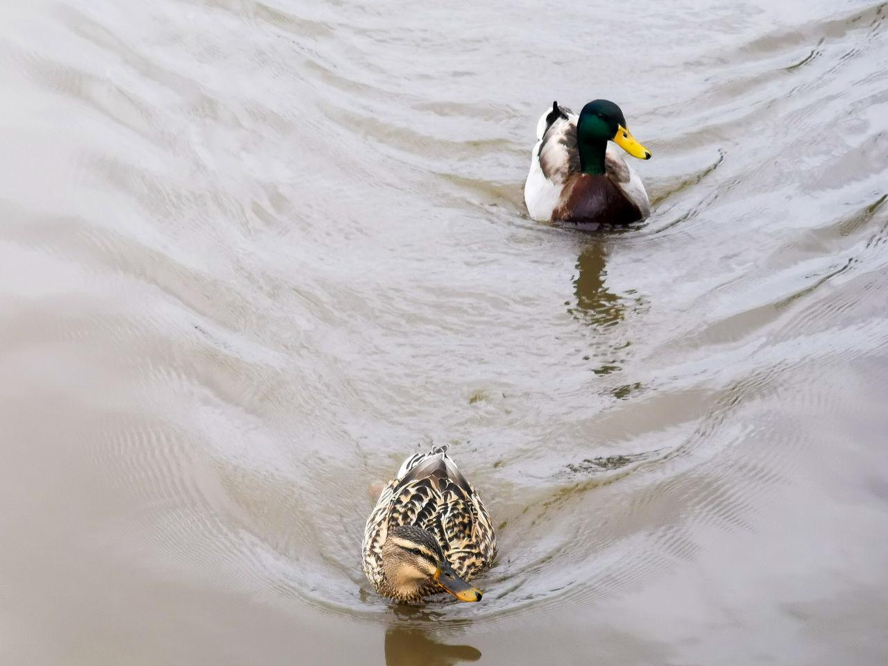 HIGH ANGLE VIEW OF MALLARD DUCK SWIMMING IN LAKE