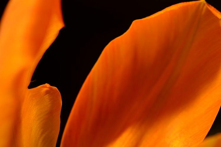 Close-up of orange rose flower against black background