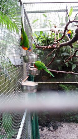 Parrot Parrots Feeding  Cage Zoo Zoo Animals  Colorful Green Orange Color Frankfurt Am Main Bars Climbing Bird Birds Birds Of EyeEm  Group Zoophotography Zoology Germany Peroquet