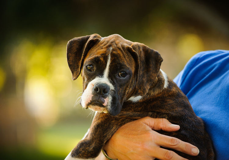 Boxer dog Animal Boxer, Canine Cute Day Dog Domestic Animals Lifestyles No People Outdoors Puppy Unrecognizable Person Young Animal