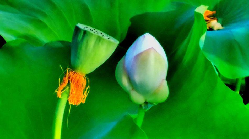 Green Nature Lotus Flower Lotus Seed Beautiful View.. Wild Flowers Beautiful Landscape