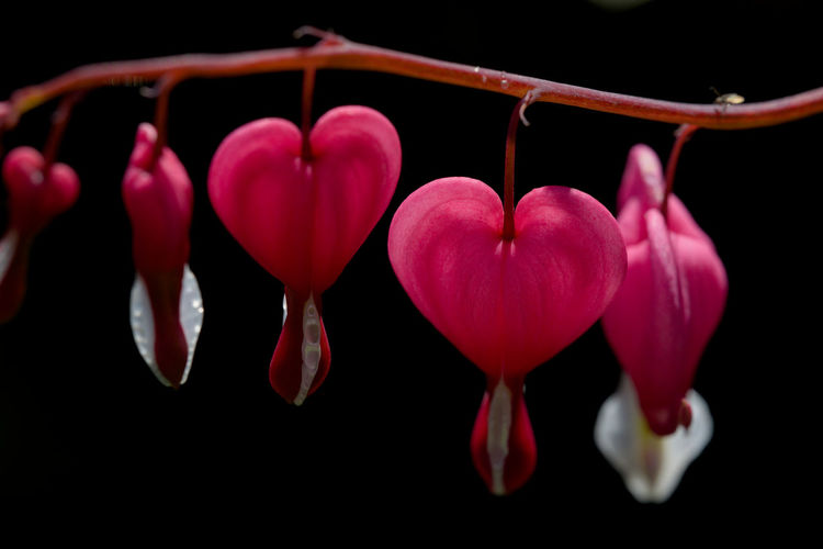 Close-up of pink heart shape against black background